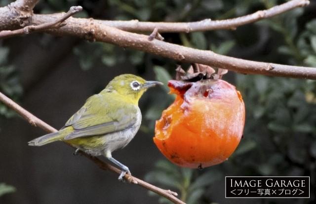 カキを食べるメジロのフリー写真素材(無料)