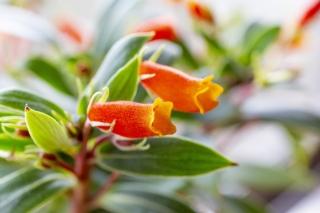 オレンジ色の花を咲かせるシーマニア