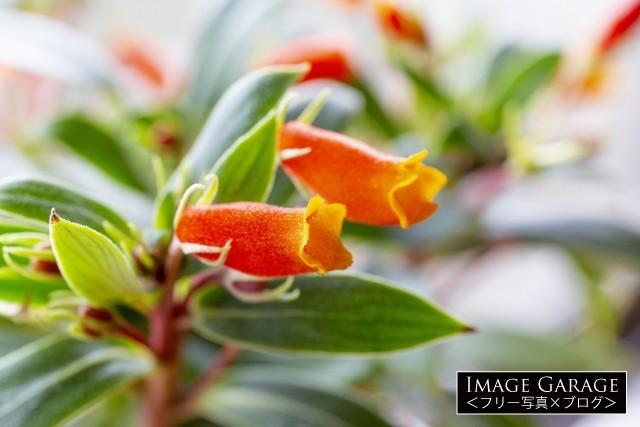 オレンジ色の花を咲かせるシーマニアのフリー写真素材(無料)
