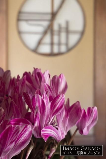 シクラメンの花のフリー写真素材(無料)