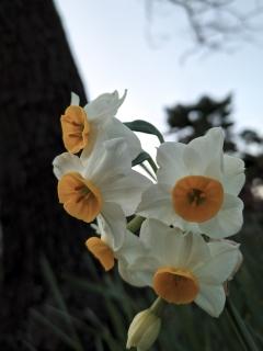 うつむきがちに咲くニホンスイセン(日本水仙)