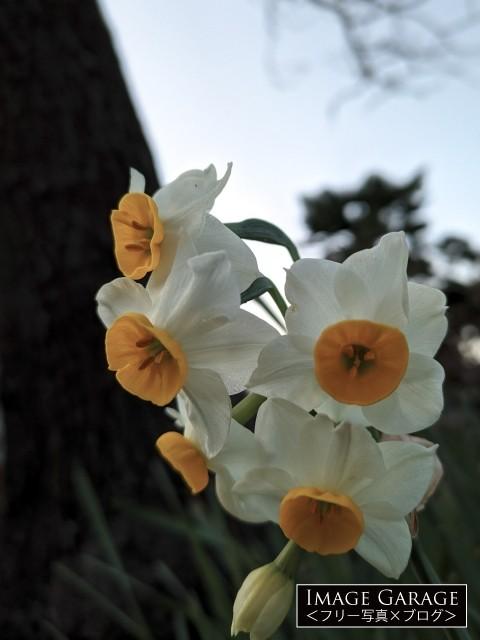 うつむきがちに咲くニホンスイセン(日本水仙)のフリー写真素材