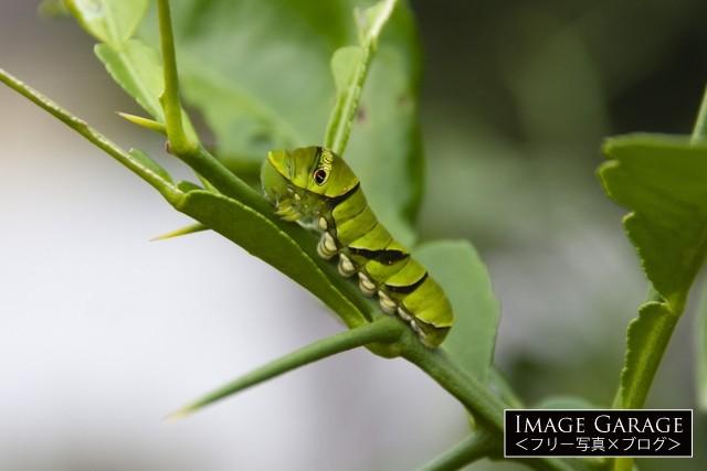 ナミアゲハの5齢幼虫のフリー写真素材(無料)
