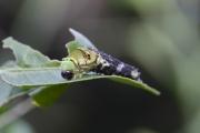 ナミアゲハの脱皮(4齢から5齢幼虫へ)