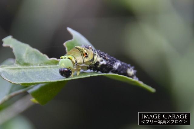4齢から5齢幼虫へのナミアゲハの脱皮のフリー写真素材(無料)