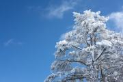 白くなった木・樹氷