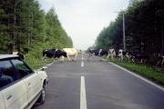 北海道の道路の牛の横断