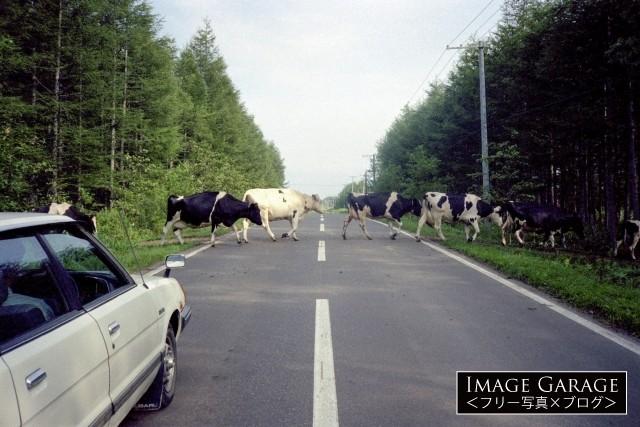 北海道の道路の牛の横断のフリー写真素材(無料)
