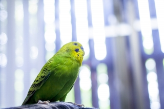 陽気に歌を歌いそうな黄緑色のセキセイインコ
