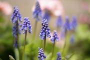 春を感じる紫のムスカリの花