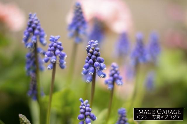 春を感じる紫のムスカリの花のフリー画像(無料写真素材)