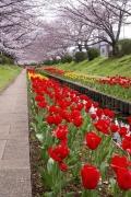 江川せせらぎ緑道のチューリップと桜