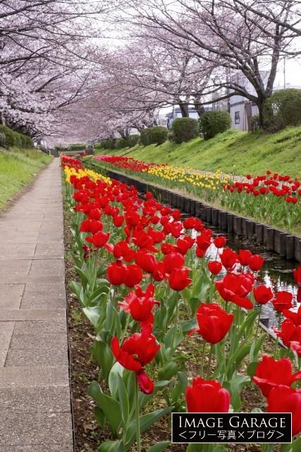 江川せせらぎ緑道のチューリップと桜のフリー画像(無料写真素材)