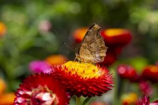 ムギワラギクにとまるキタテハ(蝶)