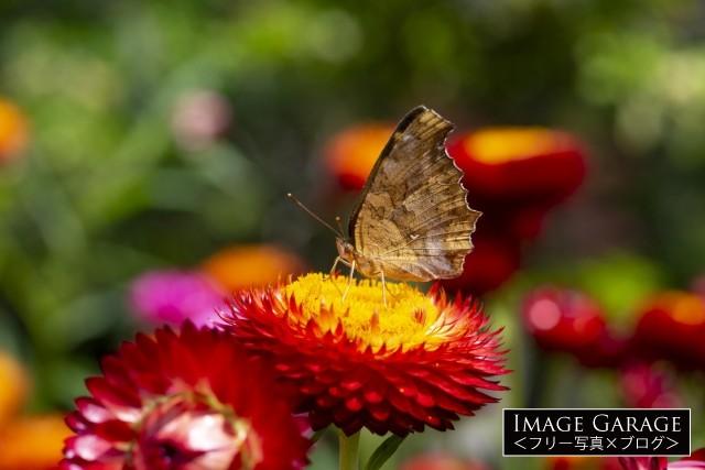 ギワラギクにとまるキタテハ(蝶)のフリー画像(無料写真素材)