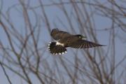 ムクドリの飛翔