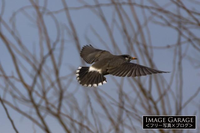 ムクドリの飛翔のフリー画像(無料写真素材)
