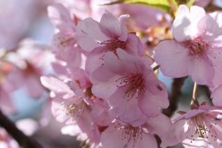 大輪で早咲きの河津桜