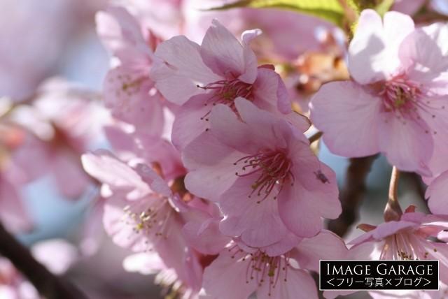 大輪で早咲きの河津桜のフリー画像(無料写真素材)