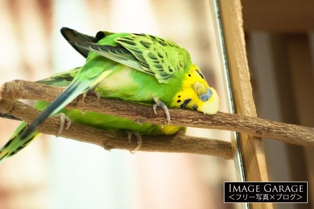 止まり木に顔をこすりつけるセキセイインコのフリー写真素材(無料)