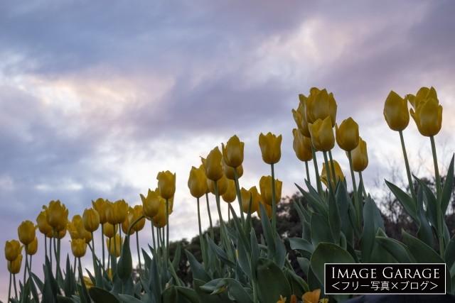 黄色いチューリップのフリー画像(無料写真素材)