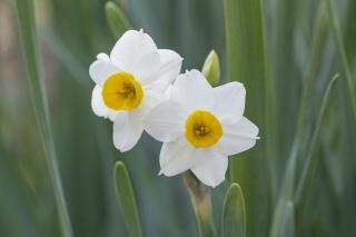 清廉なイメージのスイセンの花