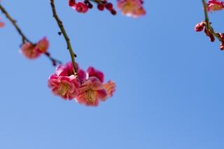 空に映える紅梅の花