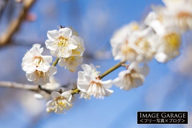 白い梅の花のフリー写真素材(無料)