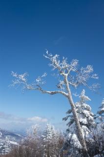 青空に向かって伸びる雪が降りかかった木