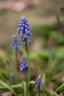 パフスリーブのような姿が可愛いムスカリの花