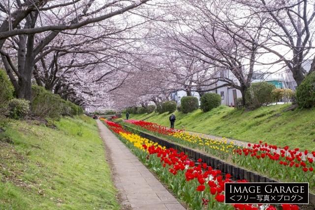 江川せせらぎ緑道の桜とチューリップのフリー写真素材(無料)