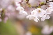 淡いピンク色の桜の花