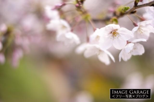 淡いピンク色の桜の花のフリー写真素材(無料)