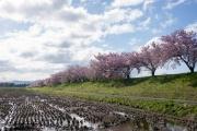 北上市・和賀川沿いの桜並木