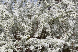 枝一杯に真っ白な花を咲かせるユキヤナギ