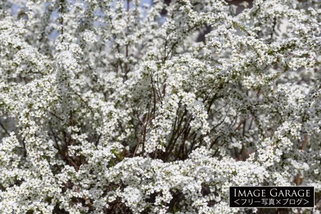 枝一杯に真っ白な花を咲かせるユキヤナギのフリー画像(無料写真素材)