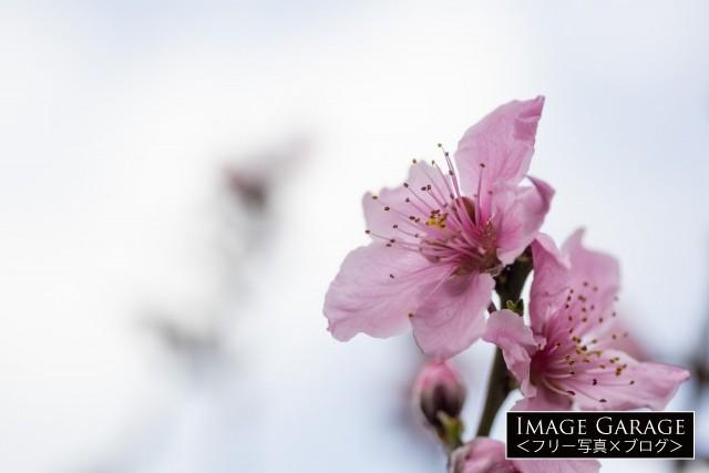 濃いピンク色の桃の花のフリー写真素材(無料)