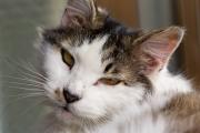 目が眠そうな猫のアップ
