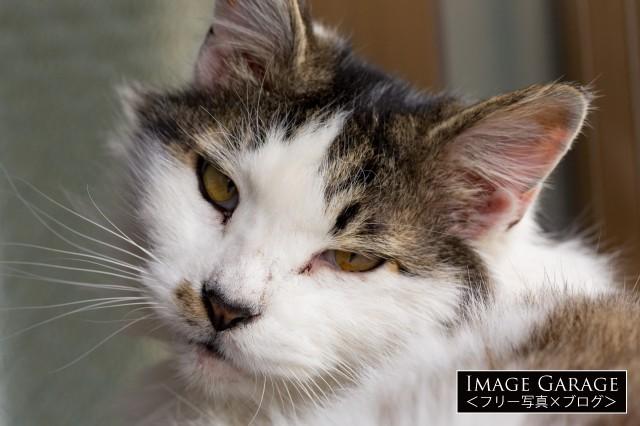 目が眠そうな猫のアップのフリー写真素材(無料)