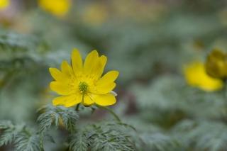 黄色い花を咲かせる福寿草