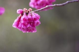色気ある濃いピンク色のカンヒザクラ