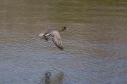 メスのヒドリガモの飛翔