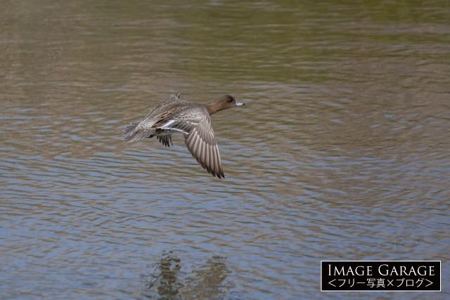 メスのヒドリガモの飛翔のフリー画像(無料写真素材)