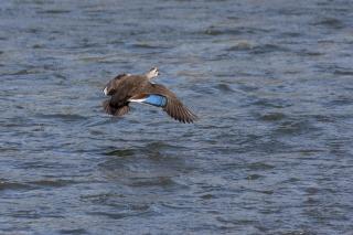 青い翼鏡を持つカルガモの飛翔