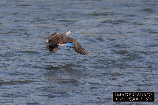 青い翼鏡を持つカルガモの飛翔のフリー写真素材(無料)