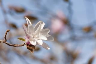 白く愛らしいこぶしの花