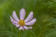 ピンク色のコスモス(オオハルシャギク)の花