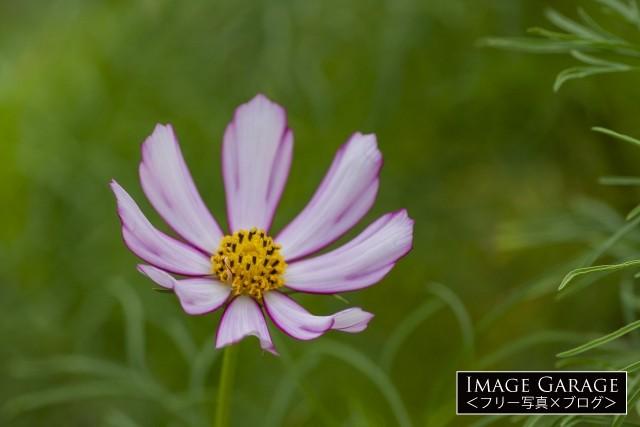 ピンク色のコスモス(オオハルシャギク)の花のフリー写真素材
