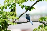 オナガ・ブルーグレーの羽根が綺麗な鳥