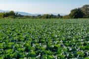 上川井農業専用地区のキャベツ畑